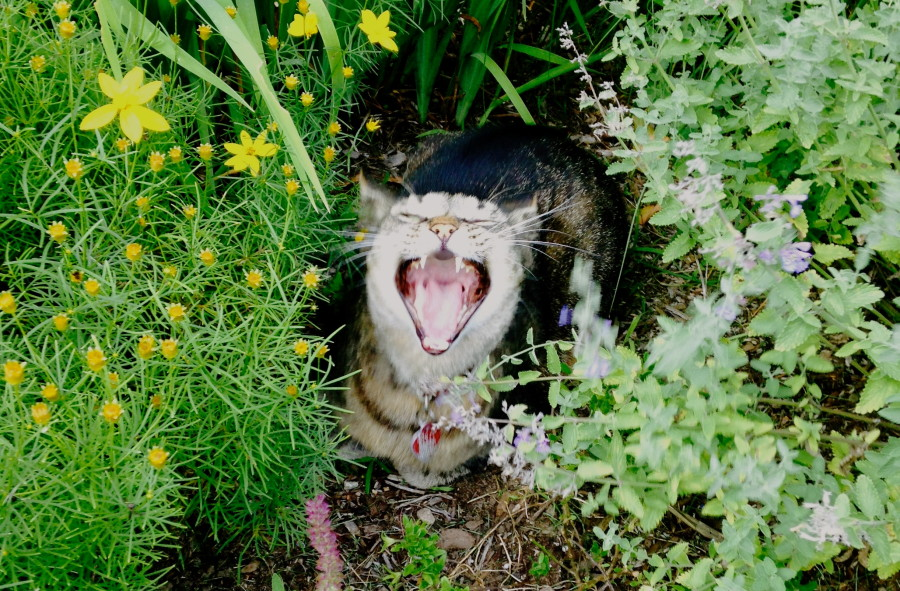 cat yawning in the bushes